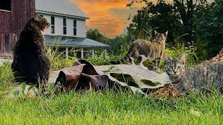 New Barn Cats Explore the Farm