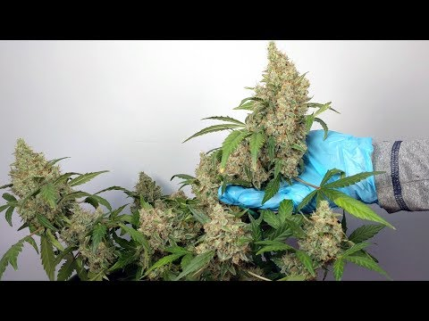 QUICK FLOWERING AUTOFLOWER HARVEST. SEED TO HARVEST IN 9 WEEKS