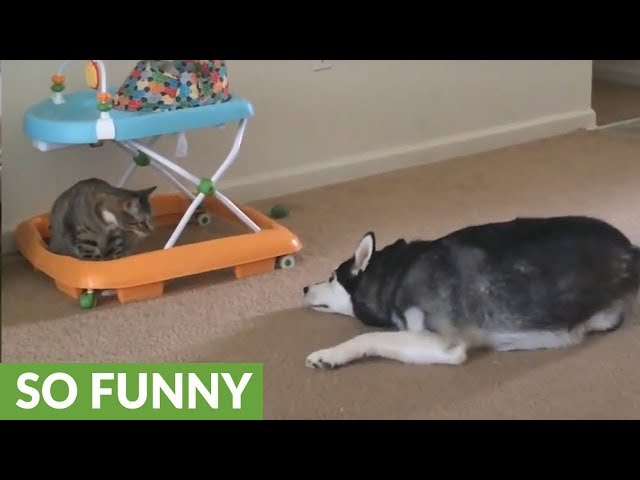 Cat repeatedly attacks clumsy husky, ends with doggy headache