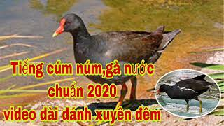 Download Tiếng cúm núm, gà nước chuẩn nhất hiện nay l video dài đánh xuyên đêm l Săn bẫy TV