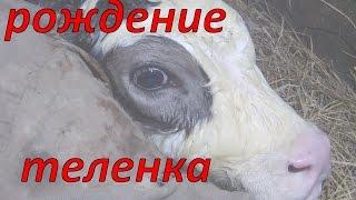Отёл / Новая жизнь / Появление на свет теленка / Жизнь в деревне.