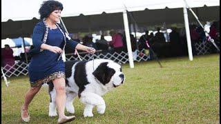 saint bernard dog show 2021   st brendan dog show   dog show world