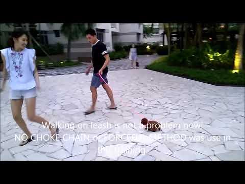 Dog Training Singapore Yoyo 2.5 months poodle