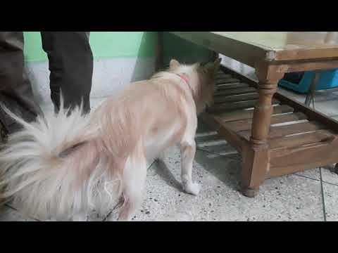 Spitz Dog @ Vet in Dhaka City Pet Doctor in Bangladesh @ Dr. Sagir's Pet Clinic 01912251312