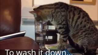 Worlds Naughtiest Cat Highlights Compilation.....Very Funny Watch All