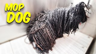 MOP DOG   The Puli     Pet   Dog Grooming   The Dog Transformation