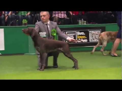 Crufts 2013 German Shorthaired Pointer Gundog Group – GSP