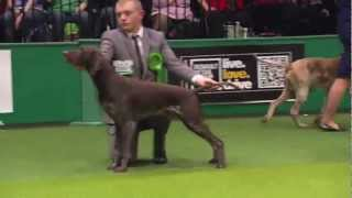 Crufts 2013 German Shorthaired Pointer Gundog Group - Gsp