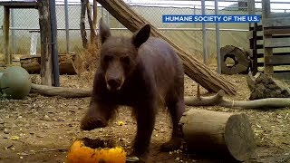 Bear with mange in California recovering, but wont be released
