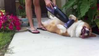 Чистка собаки пылесосом
