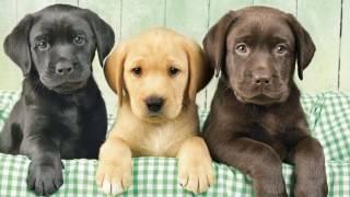 Лучшие породы собак для маленьких детей.