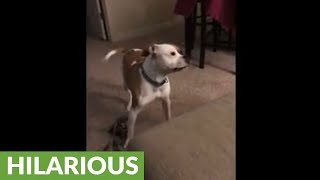 Owner hilariously confuses dog with opposite commands