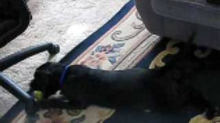 Marley The Black Lab Blue Heeler Mix Puppy Playing Fetch