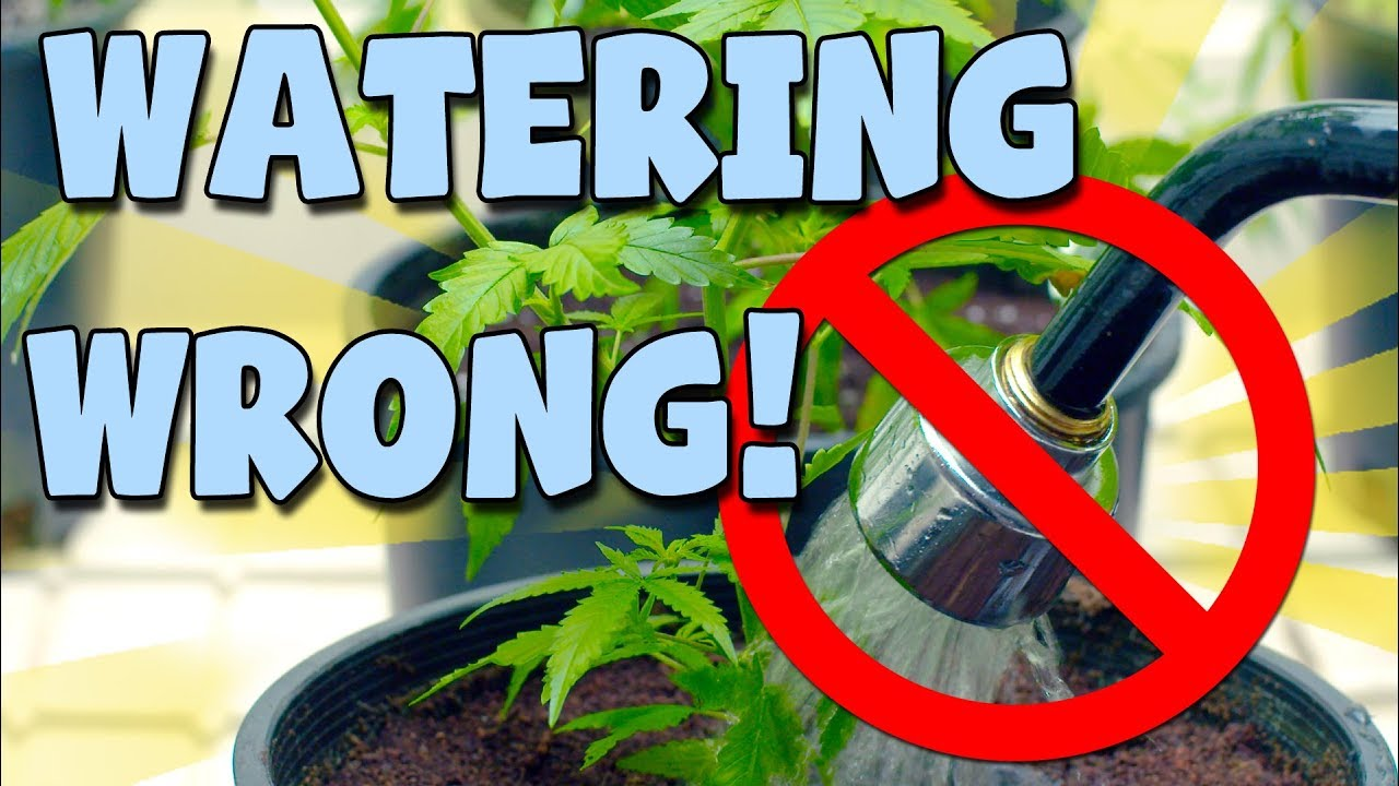 How to Water Cannabis Plants and Train Root Balls