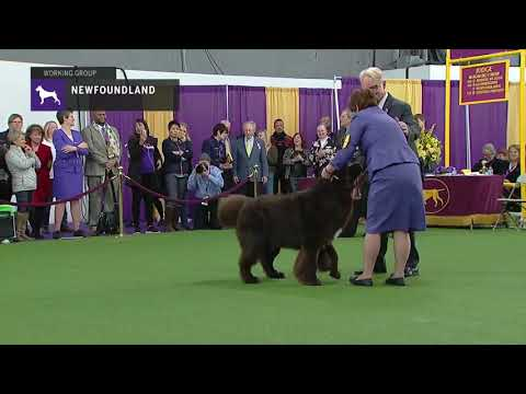 Newfoundlands | Breed Judging 2019