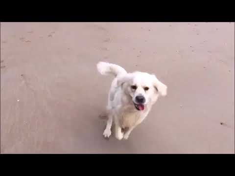 Golden Retriever - MAX