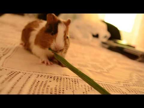 Yoshi comendo capim - Porquinho da Índia - Guinea Pig
