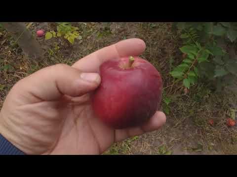 Яблоня сорт зимний Моди( Apple Моdi). Дегустация