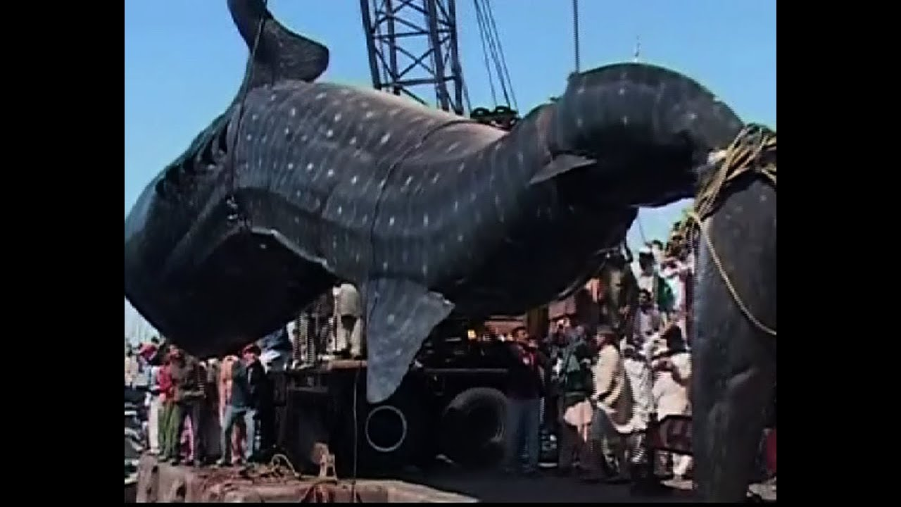 whale shark caught in pakistan youtube