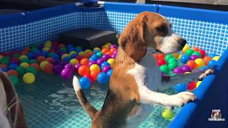 Funny Dogs get a Ball Pit Swimming Pool Surprise! Beagles Louie & Marie