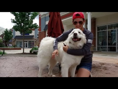 Best Dog Training in Columbus, Ohio! 1.5 Year Old Great Pyrenees, Lucy!