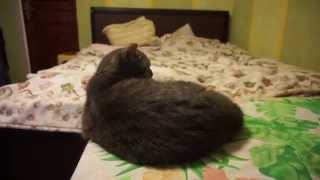 ЛУЧШИЕ ПРИКОЛЫ 2015 Адская кошка)! ПРИКОЛЫ с котами! коты ! смешное видео , funny cats, animals