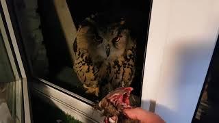 Сова, кот и мышь, которая ничего не подозревает. Ужин филина Ёлки