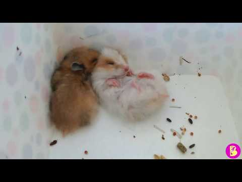 Hamsters travelers Хомячки