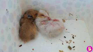 Hamsters travelers Хомячки путешественники или Новогодний подарок от Грязетты