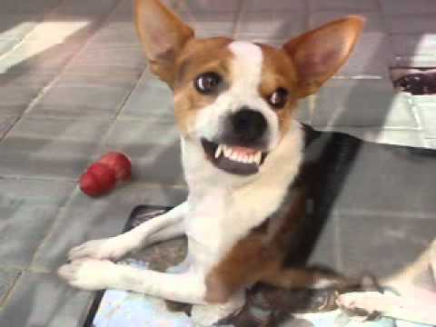 Angry Jack Russell Cross Showing His Shiny Teeth Youtube
