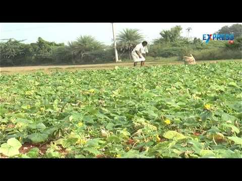 Gherkin Farming Success story of Kurnool Farmer | Paadi Pantalu