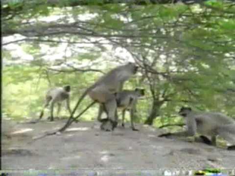 Monkey's mating! - animals mating