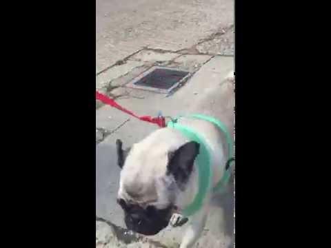 Zespół oddechowy u psa: objawy i leczenie syndromu oddechowego psów
