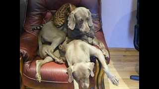 Bengal And Weimaraners Play. Who's The Queen Of The Castle?