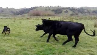 Rottweiler Vs Cattle