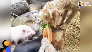 Nice Dog Always Makes Sure His Friends Eat First | The Dodo