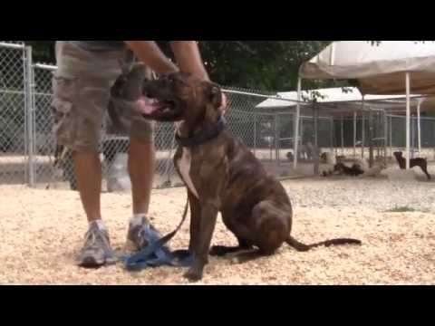 Training and Rehabilitating an Aggressive Pit Bull Rescue