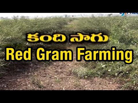 Success Story Of Redgram Farming | Paadi Pantalu | Express TV