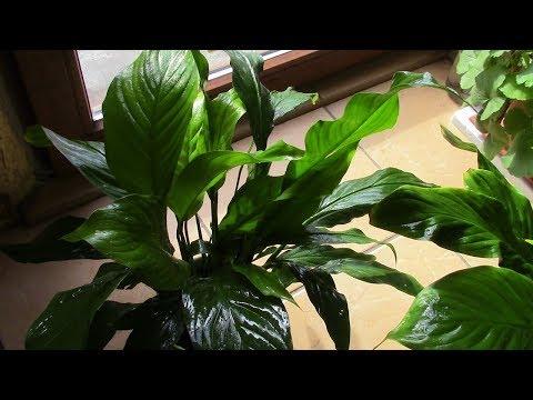 Вопрос: Зачем комнатным растениям нужен чеснок?