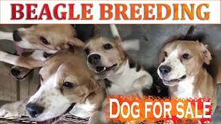The Beagle breeding  interview | DOG FOR SALE | Tamil | Arivom Thozha