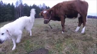 Дружба собаки и телки. Обход хозяйства и ответы на некоторые вопросы. // Жизнь в деревне.