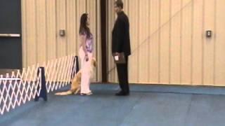 Brea Bel Canto Angela An English Cream Golden Retriever Doing A Graduate Novice Obedience Class