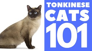 The Tonkinese Cat 101 : Breed & Personality