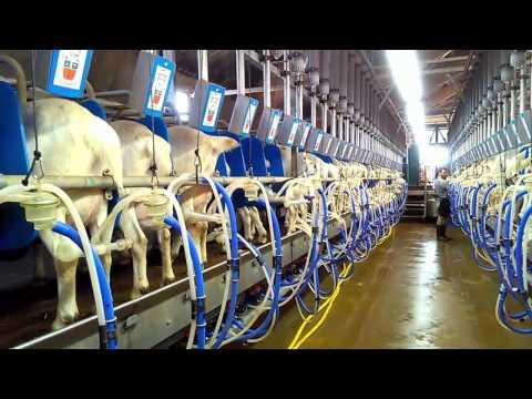 Dairy goat milking parlour Dutchlac