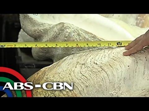 Bandila: P97-M higanteng perlas at taklobo, nasabat sa Maynila