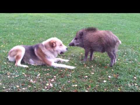 Dog and Javelina Playing Together