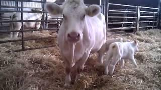 Set of twin Charolais Calves, description of freemartin