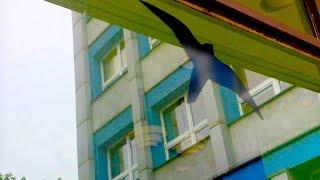 #187 Рисунки птиц на окнах и заборах. Зачем?(, 2015-06-25T21:24:06.000Z)