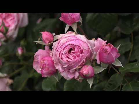 роза кис ми кат, плетистый сорт, питомник роз полины козловой rozarium.biz, rose KIS mi kat