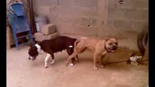 Thelma & Coffee,  Blue nose PitBull and American PitBull